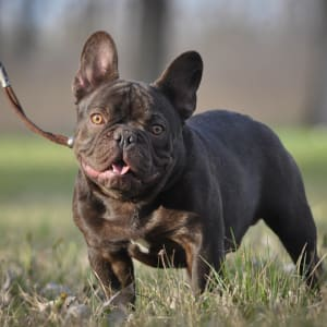 French Bulldog - Vitabull