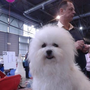 Pici Pelyhes Bolognese Kennel