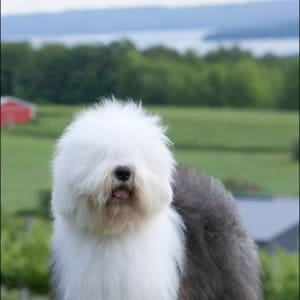 Old English Sheepdog Kennel