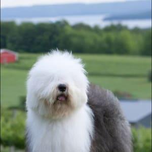 Old English Sheepdog Kennel