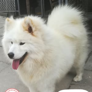 Samoyed - Bright White Peerl