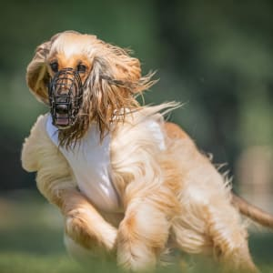Afghan Hound - Rouhi Sharif Kennel