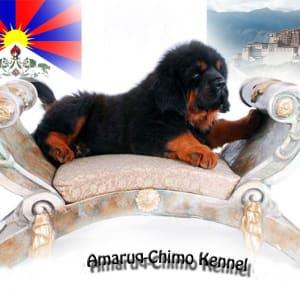 Amaruq-Chimo