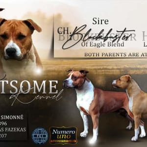 American Staffordshire Terrier - Lightsome Kennel