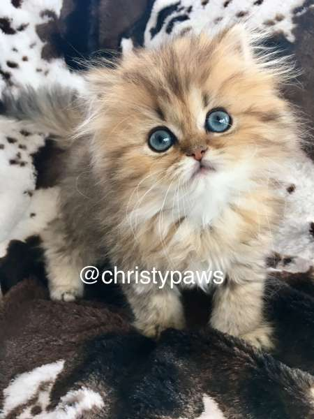 Christypaw Persians