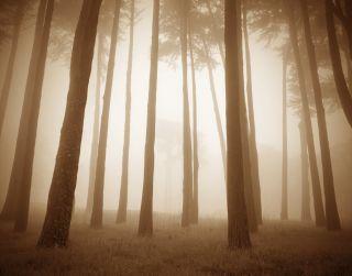 Woods, Study II