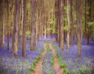Bluebell Forest, England