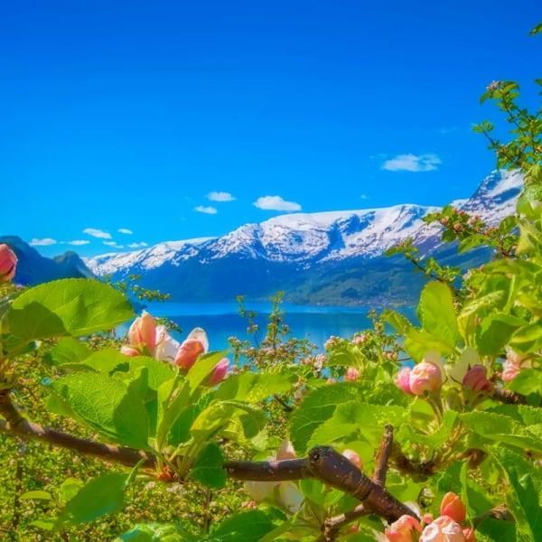 Hardanger med blomstring