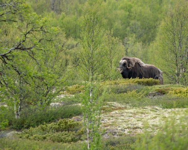 Vandring Furuhaugli – Hjerkinn Fjellstue (F, ML, M)