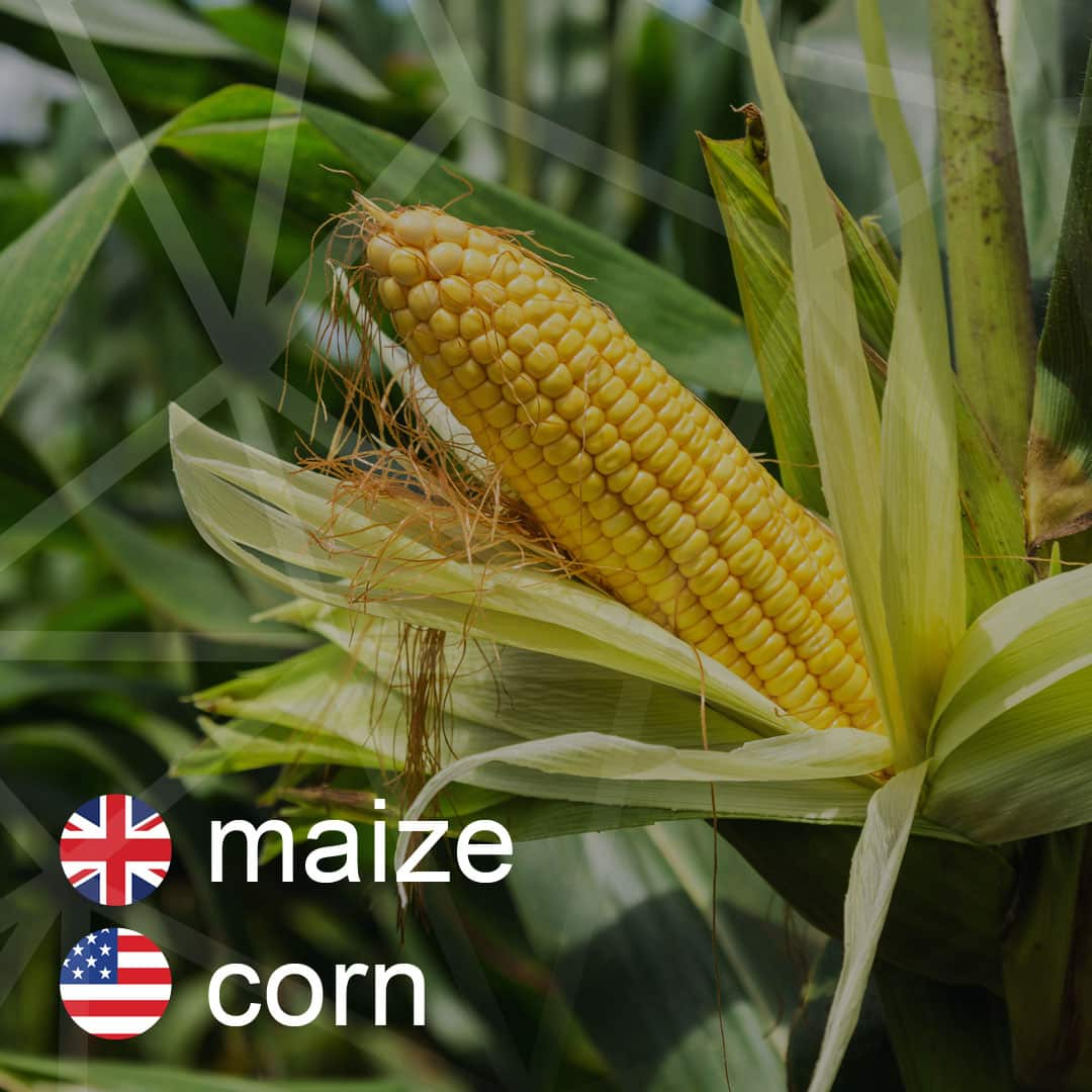 maize - corn - kukurica
