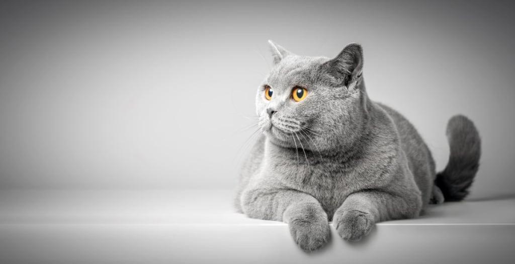 anglické mená pre mačky sivá mačka