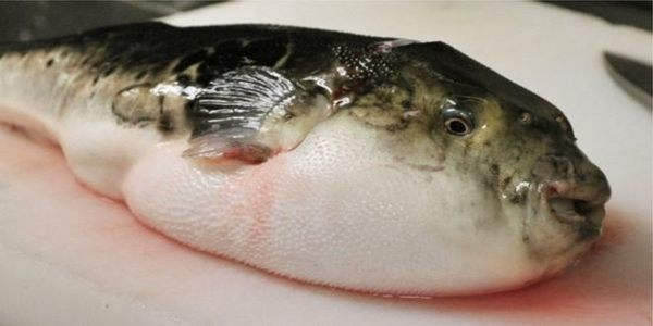 Alert In Cities Throughout Japan To Save From Fugu Fish
