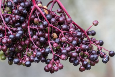 Elderberry, A Sacred Journey, Natural Health, Doulas Supporting Doulas