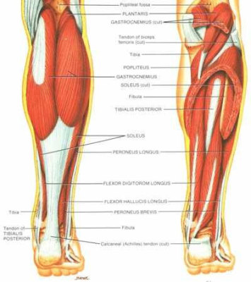 Inflammation in Tendon:Achilles Tendonitis