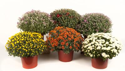 Garden mums, plants