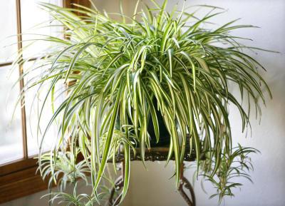 spider plant, houseplant