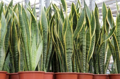 snake plants, houseplants