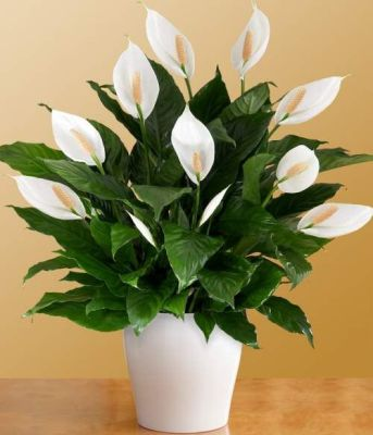 peace lily, houseplant