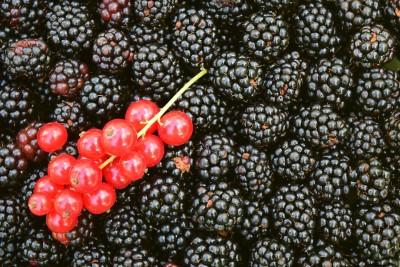 Black Berry Fact Dairy