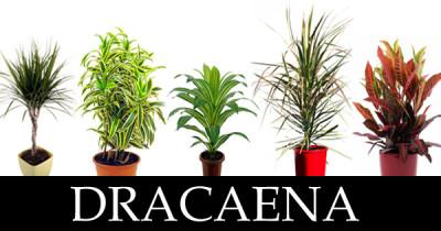 dracaena plants