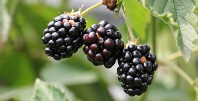 Black Berry Fact Dairy
