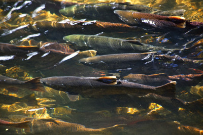 salmon, pharmaceuticals, toxins