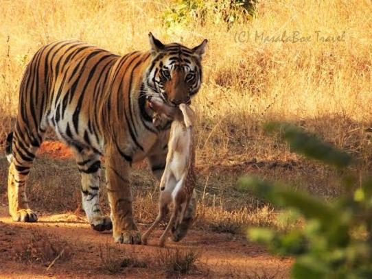 Tadoba Tiger Sightings | Tadoba National Park