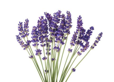 lavender, essential oils, health, burlington, wellness