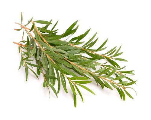 tea tree, lavender, peppermint, eucalyptus, essential oils
