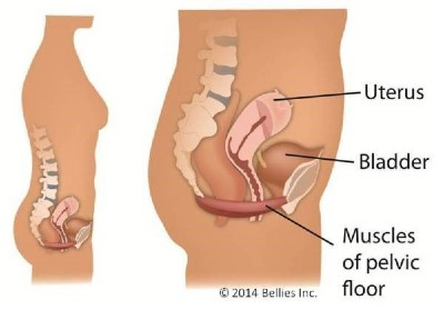 Bellies Inc., Pelvic Floor,