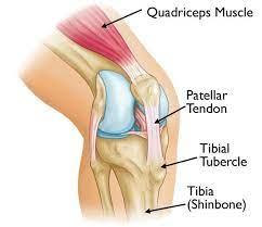 Knee anatomy, tibia tubercle, patella tendon.