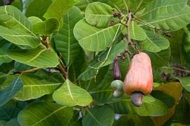 Good News About Nutritious Cashews