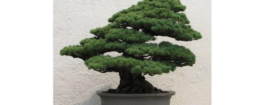 Tiny Bonsai Trees for Tiny Homes