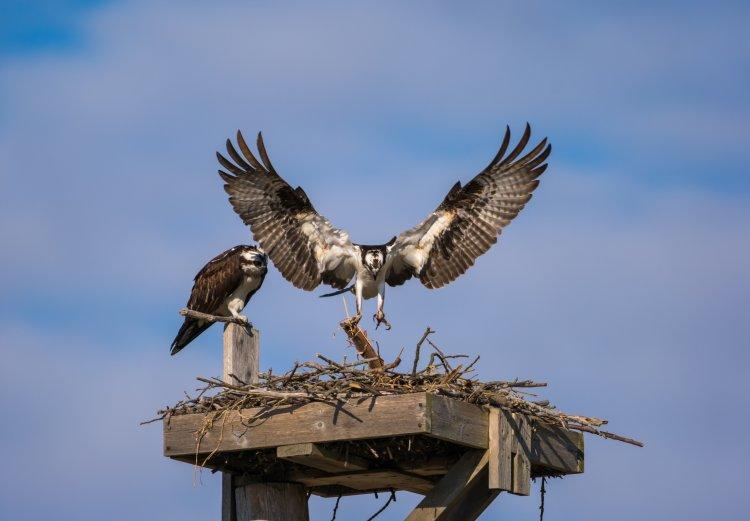 osprey, nest, trail, conservation