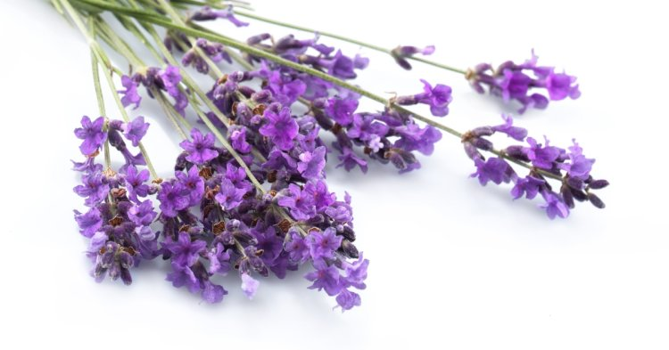 Lavender, Lavender essential oil for sleep, calming lavender, Bloomiss