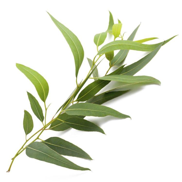 eucalyptus, lavender, peppermint, essential oils, health, wellness