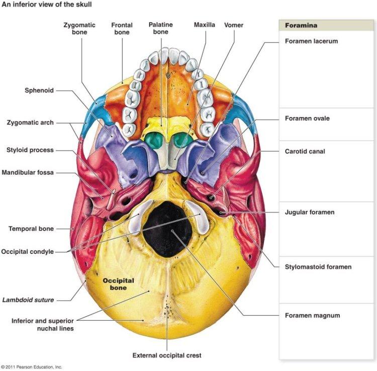 cranial bones, CATS, cranial adjustment turner style, Dr Rachel Carson
