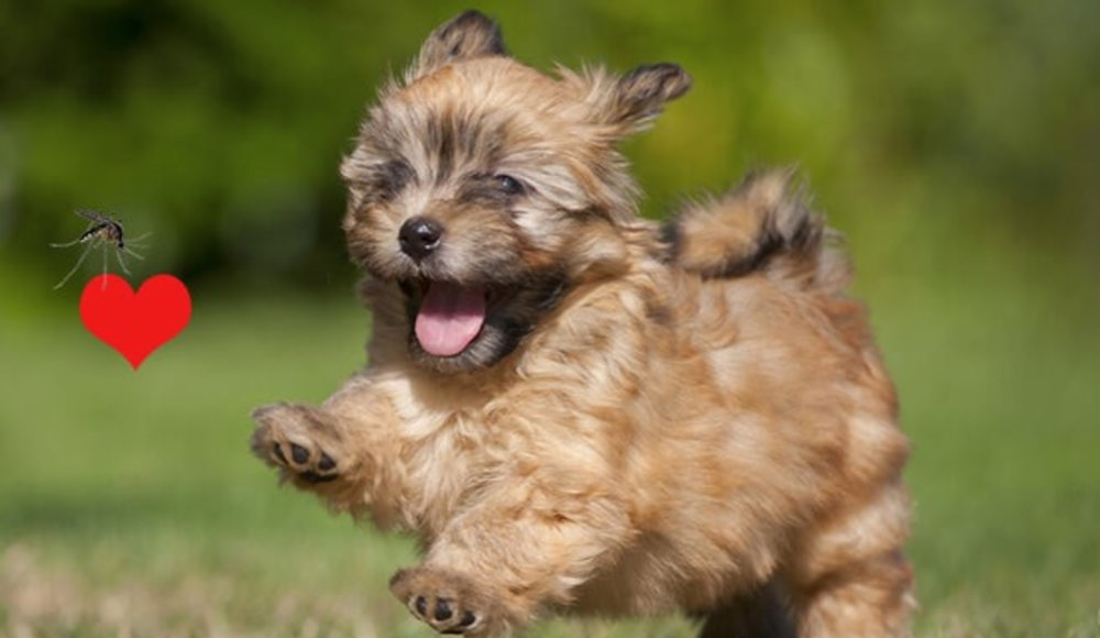 Understanding Heartworm Disease In Dogs : Decoding The Facts