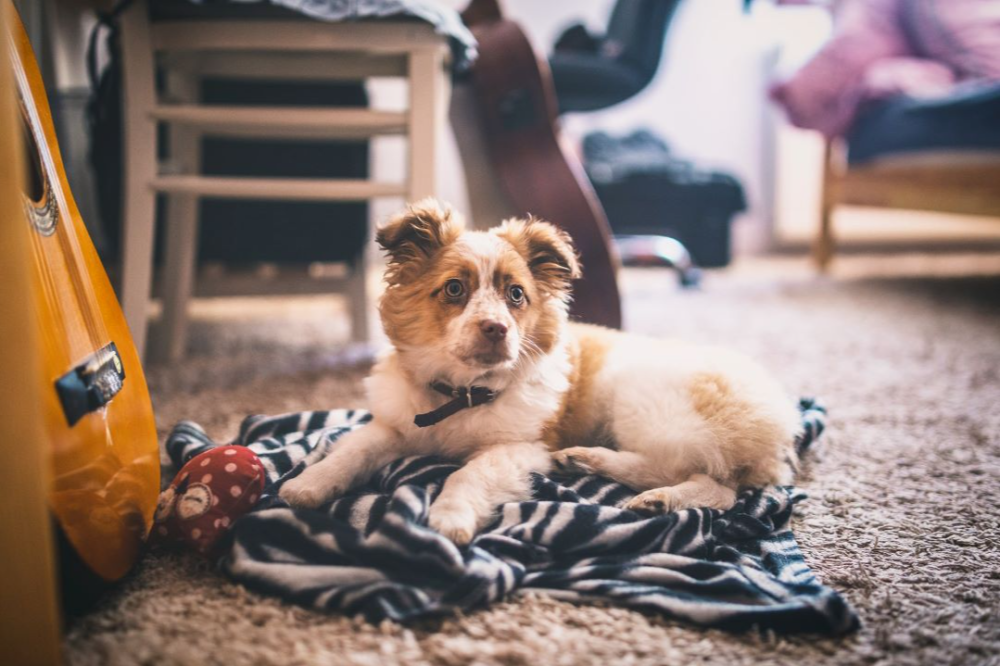 Puppies and Your Carpets