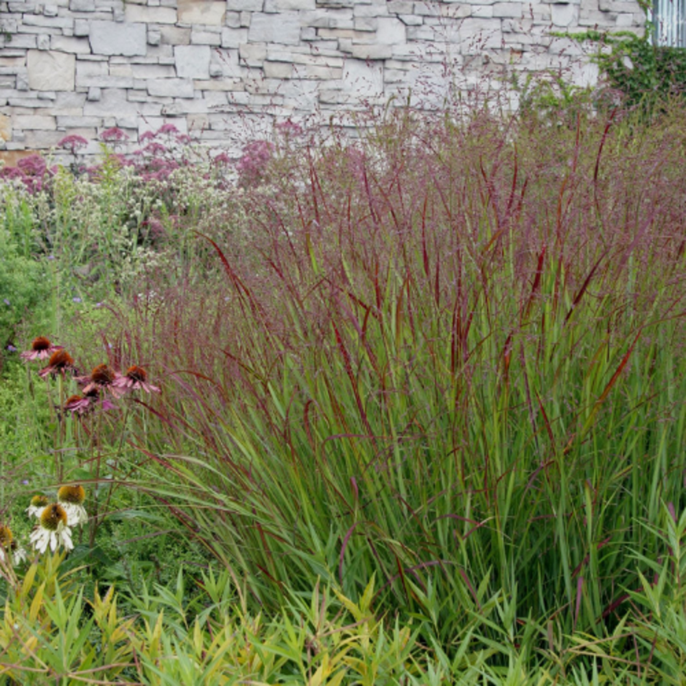 Shenandoah Switch Grass