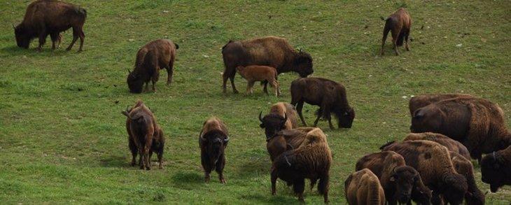 Bison - Making a comeback in our province and our diets