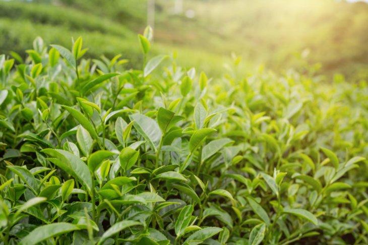 Benefits of Tea Tree And Jojoba Oils for Hair