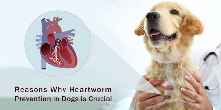 How to prevent heartworm in dogs? Know Why Heartworm Prevention More Important