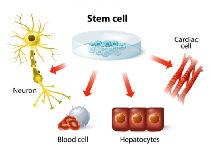 Stem Cells: What they are and what they do?