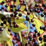 Have you heard of super berries, let's take a look at the Elderberry today,