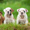 At Candy Mountain Bulldogs we have the healthiest and the happiest bulldogs in all of Atlanta. Kindly, get in touch with us if you're looking for a Bulldog for