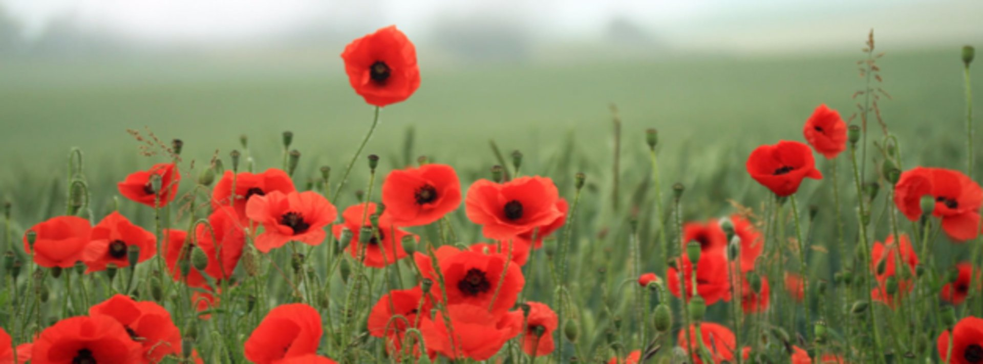 How Did The Poppy Become The Symbol Of Remembrance Day