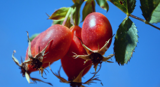 Rosehip oil is the Queen of oils for your skin packed full of antioxidants to product your skin