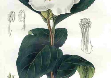SINGLE WHITE-FLOWERED CAMELLIA or JAPAN-ROSE