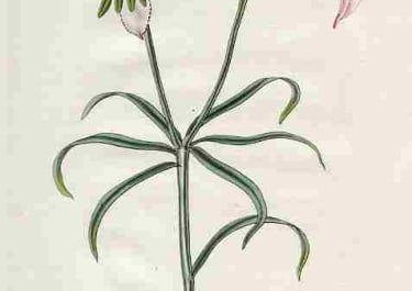 PALE-FLOWERED ALSTROEMERIA